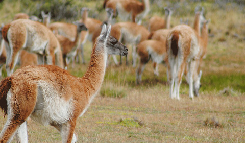 "Can we restore the Chilean ""espinal"" with guanacos?"