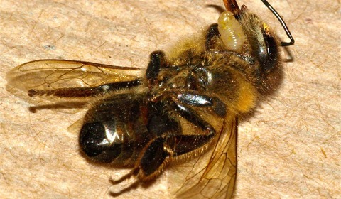 ZomBees: Are parasites controlling the minds of honey bees?